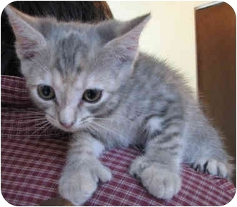Egyptian Mau Kitten for adoption in Davis, California - Lulu
