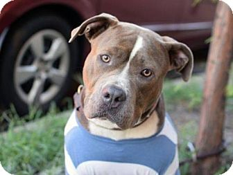 American Staffordshire Terrier Mix Dog for adoption in Manhattan, New York - Blue Ivy