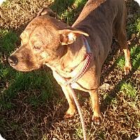 Labrador Retriever/Pit Bull Terrier Mix Dog for adoption in North, Virginia - Tony