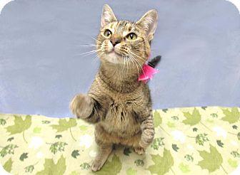 Domestic Shorthair Cat for adoption in Lexington, North Carolina - Lady Gaga