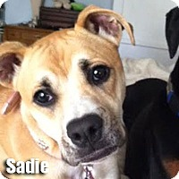 Adopt A Pet :: Sadie - Encino, CA