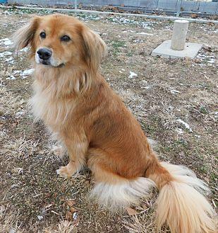 Golden Retriever/Australian Shepherd Mix Dog for adoption in Hedgesville, West Virginia - Zoe