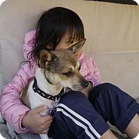 Adopt A Pet :: Amigo - Chandler, AZ