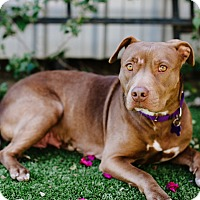 Adopt A Pet :: Constance - Los Angeles, CA