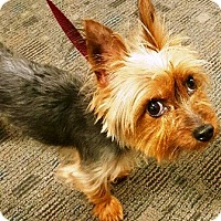 Adopt A Pet :: Yodi - Oswego, IL