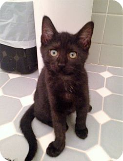 Domestic Shorthair Kitten for adoption in River Edge, New Jersey - Wisteria