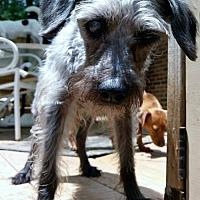Poodle (Miniature)/Standard Schnauzer Mix Dog for adoption in Alpharetta, Georgia - MrMagoo