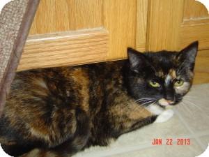 Munchkin Cat for adoption in Medford, New Jersey - Magnolia