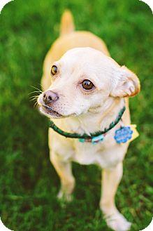 Chihuahua/Dachshund Mix Dog for adoption in Kirkland, Washington - Buttercup - spunky & sweet!