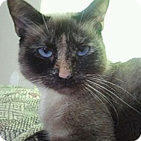Adopt A Pet :: Lucy Siamese - Easley, SC