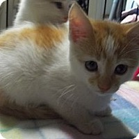 Adopt A Pet :: Orange & White Girl - Acme, PA