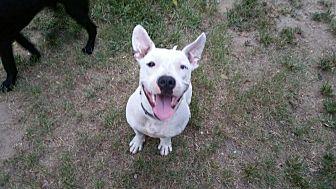 American Pit Bull Terrier Dog for adoption in Columbia, South Carolina - Sero