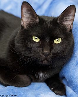 Domestic Shorthair Cat for adoption in St Louis, Missouri - Heckle