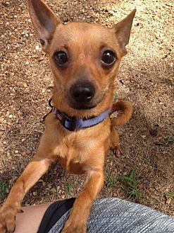 Chihuahua Mix Dog for adoption in Alpharetta, Georgia - Dinora