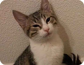 Domestic Shorthair Kitten for adoption in Alamo, California - Daisy