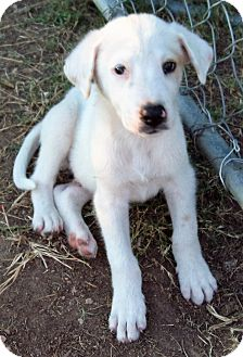 Labrador Retriever/Australian Shepherd Mix Puppy for adoption in Waller, Texas - Casper