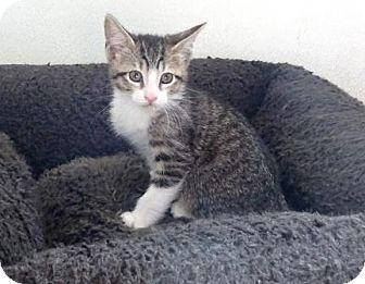 Domestic Shorthair Kitten for adoption in Lathrop, California - Rancher