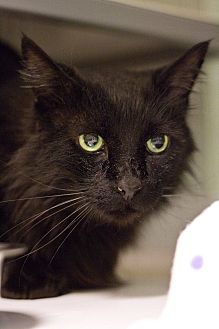 Domestic Longhair Cat for adoption in Grayslake, Illinois - Fuzzy Lumpkins