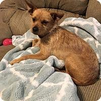 Adopt A Pet :: Roman - Mesa, AZ