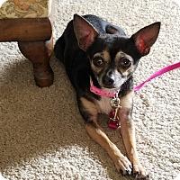 Adopt A Pet :: Daisy - Durham, NC