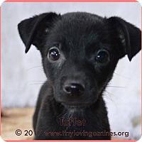 Adopt A Pet :: Tuffet - Simi Valley, CA