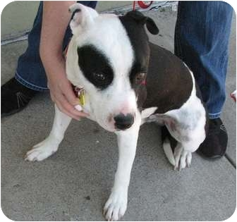 American Pit Bull Terrier Mix Dog for adoption in Arlington, Texas - Niko