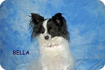 Papillon Dog for adoption in Ft. Myers, Florida - Bella
