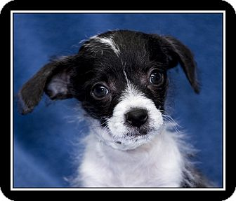 Fox Terrier (Toy)/Jack Russell Terrier Mix Puppy for adoption in Ft. Bragg, California - Zip