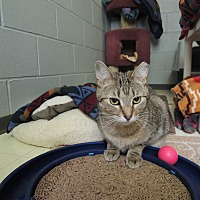 Domestic Shorthair Cat for adoption in House Springs, Missouri - Harvey