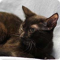 Domestic Shorthair Cat for adoption in Winston-Salem, North Carolina - Harper