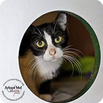 Domestic Shorthair Cat for adoption in Lyons, New York - Angelica