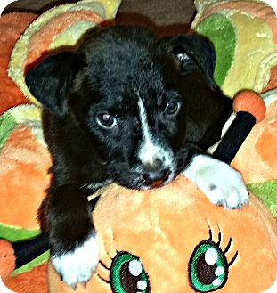 Border Collie/Shepherd (Unknown Type) Mix Puppy for adoption in Boulder, Colorado - Tassie