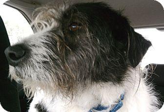 Terrier (Unknown Type, Medium) Mix Dog for adoption in Houston, Texas - Basco