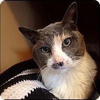 Adopt A Pet :: Manxie - Colorado Springs, CO