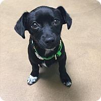 Adopt A Pet :: Poppy - Riverside, CA