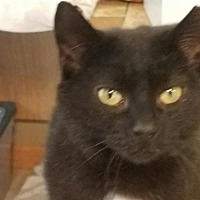 Adopt A Pet :: Midnight - special needs girl - Jenkintown, PA