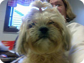 Lhasa Apso/Shih Tzu Mix Dog for adoption in Cumberland, Maryland - Chrissy