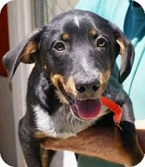 Australian Cattle Dog/Hound (Unknown Type) Mix Dog for adoption in Oakland, Arkansas - Mason