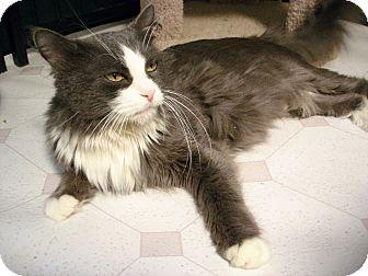 Domestic Longhair Cat for adoption in Fountain Hills, Arizona - BONITA