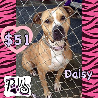Pit Bull Terrier/Labrador Retriever Mix Dog for adoption in Fowler, California - Daisy