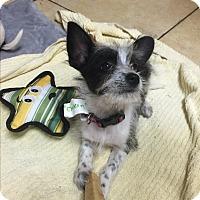 Adopt A Pet :: Checkers - West LA, CA