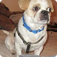 Adopt A Pet :: Pugsley - Jacksonville, FL