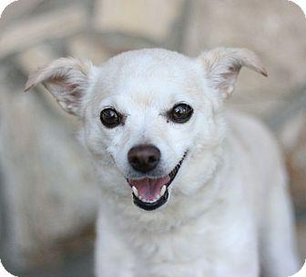 Pomeranian Mix Dog for adoption in Canoga Park, California - Bella