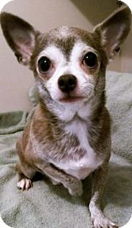 Chihuahua Dog for adoption in Durham, North Carolina - Keanu