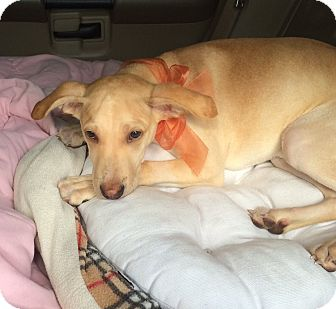 Labrador Retriever/Italian Greyhound Mix Puppy for adoption in Holmes Beach, Florida - Gisella