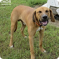 Labrador Retriever Mix Dog for adoption in Elizabeth City, North Carolina - Thor