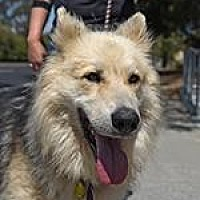 Alaskan Malamute Mix Dog for adoption in Pt. Richmond, California - NIKI