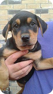 Shepherd (Unknown Type) Mix Puppy for adoption in White Settlement, Texas - Bradley