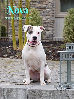 American Staffordshire Terrier Mix Dog for adoption in Cherry Hill, New Jersey - Nova