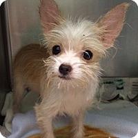 Adopt A Pet :: Noni - New York, NY